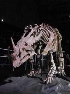 Sinoceratops_skeleton.jpg (2736×3648) - Dinosauria, Ornithischien, Ceratopsidae, Centrosaurinae, Pachyrhinosaurini. Auteur : Kumiko, 2012.