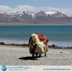 #Yak is a #Himalayan cattle; native to the #Himalayan region of #Nepal, #Bhutan, #Tibet Share your views and stories related to that place.. We share your stories on our Instagram page.. #keepshare Upload yours Pics/video... Tag us #travelsmithnepal⠀ #legend #thisworldexists #travel4purpose #yaklife #mountain #culture #cattle #floraandfauna #Himalayaslife #paradise #travel_gram #Mongolia
