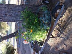 My old wheelbarrow is blooming flowers