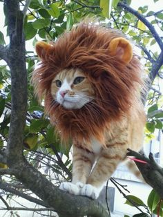 cat dressed as lion