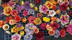 Various Hibiscus flowers sold by a vendor at the Saturday Kapiolani Community College Farmers Market.