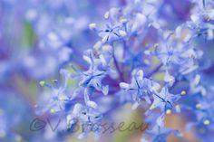 Les fleurs de céanothe