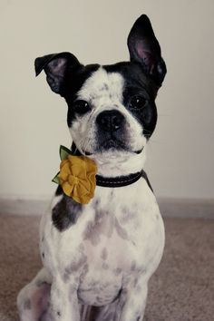 cute little flower bow tie collar #bostonterrier
