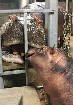 GALLERY: The most adorable photos of Fiona (Photos: Cincinnati Zoo)