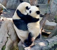 "Its a Giant Samurai Panda Hug! OMG! 12-13-2013 Mommy Bai Yun and Lil' Wu (""Cubby""), photo by Alana Silvea"