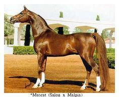 *Muscat - Aragon's great grandsire