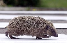 Hedgehogs: A hedgehog crosses a road by Kirsty Wigglesworth, guardian.co.uk #Hedgehogs
