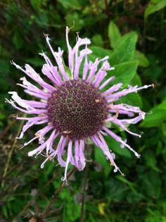 Frilly blossom of native bee balm or wild bergamot, Monarda fistulosa