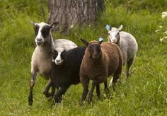 Omat lampaat - Kirsti Hassinen, Jukka Tobiasson - #kirja #omatlampaat #pienlampuri #käsikirja
