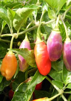 my favorite ornamental pepper its simple to grow looks pretty and taste great too