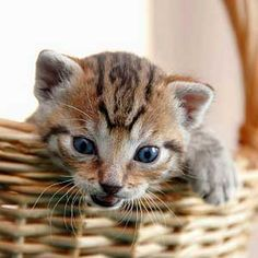 """There is no more intrepid explorer than a kitten."" --Agnes Repplier"