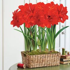 Ultimate Double Red Amaryllis in Basket: 5 Grand Trumpet® Double Red Bulbs in a Charming Woven Basket! Shower your loved ones with the most lavish Amaryllis gift available! These festive red blooms are the quintessential holiday adornment. The scarlet petals are set off with just a whisper of white: a pinstripe so razor-thin they are a testament to the startling precision nature is capable of! Enjoy a whole beautiful bouquet with 5 bulbs!