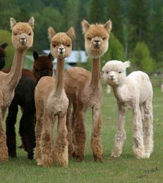 Freshly shaved alpaca