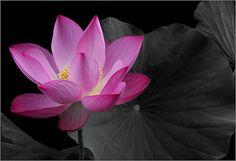 Lotus Flower IMG_7511