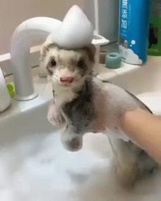 Ferret Bath Time