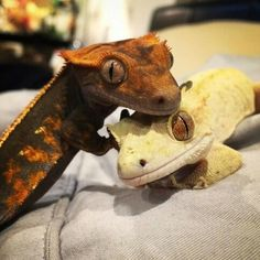 Two crested geckos Cute Lizard, Cute Gecko, Cute Reptiles, Reptiles And Amphibians, Crested Gecko Care, Baby Skunks, Reptile Room, Animal Facts, Cute Baby Animals