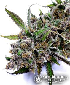 Beautiful buds #cannabis #maryjane #marijuana