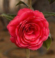 Photo of Camellia - Spring Cardinal, zone 6 camellia, camella, camela, in crimson red color