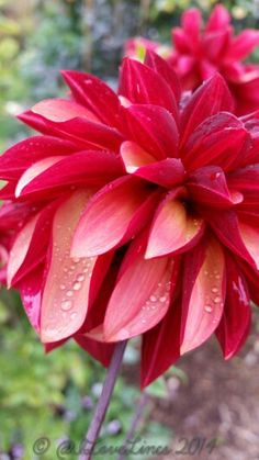 Loving the showers, Julie One D Flowers, Fall Winter, Autumn, Dahlias, Winter Garden, How To Take Photos, Beautiful Gardens, House Plants, Red Color