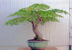Poinciana bonsai tree