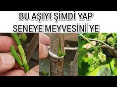 Dut Ağacına Bir Yılda Meyve Verdiren Aşı - YouTube Ale, Herbs, Make It Yourself, Gardening, Flower, Lawn And Garden, Ale Beer, Herb, Flowers