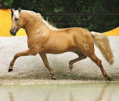 Palomino Pura Raza Española stallion, Jabato VG.