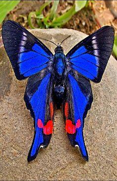ภเгคк ค๓๏ blue doctor butterfly