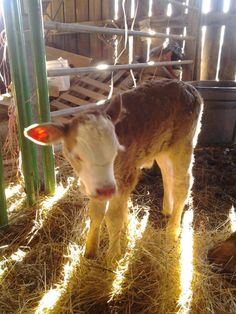 baby cow Baby Cows, Goats, Calves, Cute, Animals, Animales, Animaux, Kawaii, Animal