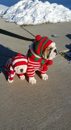 These #bulldogs are ready for #ColdWeather