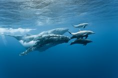 Humpback whales and bottlenose dolphins are known to play together. Observed off the coast of Hawaii, whales lifted dolphins high into the air so the dolphins could use the whale's head as a slide back into the water. via tea_and_biology Bottlenose Dolphin, Humpback Whale, Save The Whales, Underwater Life, Am Meer, Whale Watching, Large Animals, Animals Of The World, Whales