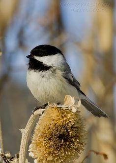 """Photo """"SweetChickadeeII"""" by prairie.  #photography #photocontest #birds"""