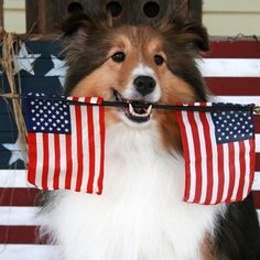 Sheltie with flags