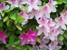 Azalea bush from Wilmington, NC