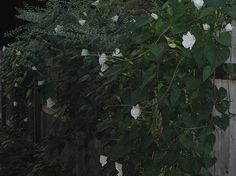"""A giant moonflower vine marked the boundary between the (witches) garden and the woods"" TBOL chpt 11 moonflower vine - Google Search"