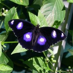 Great Eggfly (Hypolimnas bolina), also called the Blue Moon Butterfly in New Zealand or Common Eggfly