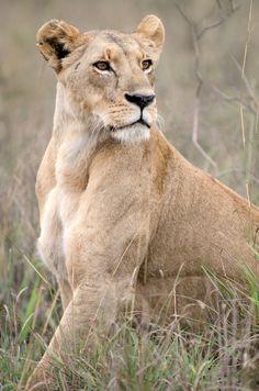 Powerful Lioness | Brad