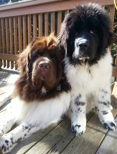 big dogs What would you name a Newfoundland dog if you got one today Big Dogs, Cute Dogs, Dogs And Puppies, Doggies, Corgi Puppies, Terranova Dog, Newfoundland Puppies, Newfoundland Dog Brown, Best Dog Names