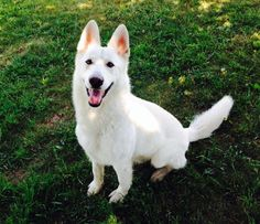 Bellevue German Shepherds | X'pect The Unexpectd I love this breeders beautiful white German Shepherd's !!!