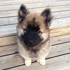 Euraiser Puppy, so cute it hurts. Pic I found online
