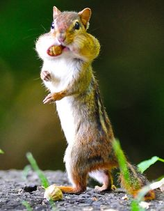 Upright Walking Chipmunk by Brian E Kushner, via Flickr