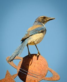this scrub jay is one of my favorite pets!  his only messes are peanut shells.
