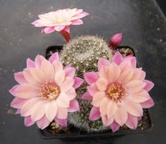 Cacti And Succulents, Planting Succulents, Cactus Plants, Planting Flowers, Rare Flowers, Pretty Flowers, How To Grow Cactus, Cactus Illustration, Purple Plants