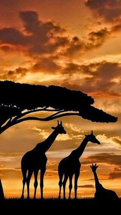 Giraffe Family silhouetted against a spectacular sunset.