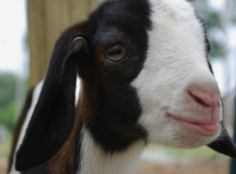 I LOVE goats - they're smart, funny & sweet!