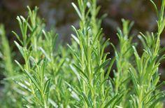 Rosmarinblätter – Rosmarini folium