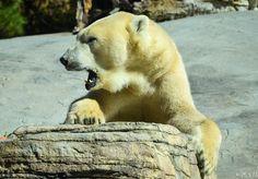 San Diego zoo #wanderlust #wanderlustproject #travel #travelphotography #instatravel #voyage #travelblog #travelblogger #usa #america #amerique #unitedstates #unitedstatesofamerica #california #sandiego #zoo #sandiegozoo #polarbear #ourspolaire #bear #ours #animal by wanderlustproject.since2010