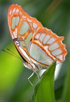 Malachite Butterfly, Orange Crush,   by Stinkersmell