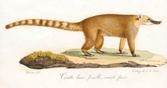 ShukerNature: THE PEEL STREET MONSTER - LOOKING BACK AT A LOCAL ... Coatimundi, Small Lizards, Legendary Creature, Small Boy, Cryptozoology, Sea Monsters, Exotic Pets