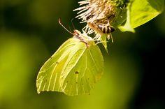 """Frühling wird's! Was jetzt in Wald, Feld und Flur wächst, sprießt und gedeiht Ab nach draußen! Die OÖN haben nachgefragt, was es in der Natur nun alles zu entdecken gibt. Die ersten Zitronenfalter werden zum Beispiel gerade von der Sonne """"aufgetaut"""". Mehr dazu hier: http://www.nachrichten.at/freizeit/haus_garten/Fruehling-wird-s-Was-jetzt-in-Wald-Feld-und-Flur-waechst-spriesst-und-gedeiht;art123,1675033 (Bild: colourbox.de)"""