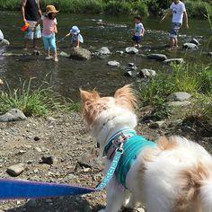 おはようございます。 僕、お水はちょっと苦手なんだ。でも、お兄ちゃんがきもちよさそうにしていたから、僕も皮に入ったんだよ。 とっても気持ちよかったよ 💞  #ワンコ #愛犬 #犬 #いぬ #チワワ #ロンチー #チワワ部 #シェルティー #シェットランドシープドッグ #chihuahua #chihuahualove #sheltie #shetlandsheepdog #dog #pet #dogstagram #petstagram #川遊び #中津川 #可愛い